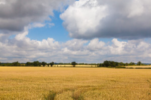 A picture of wheat in a field