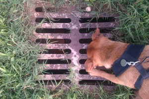 Picture of a dog on a lead scrabbling at a storm drain cover