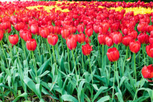 Red tulips at Keukenhof gardens