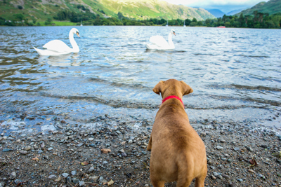 Dog stands by lake watching swans