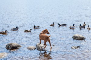 Jack stalking ducks